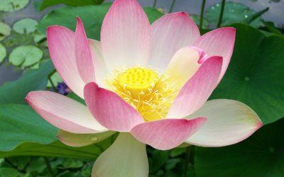 Lotus Medicine